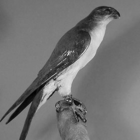 FALCON ON THE GLOVE - THE HUNT BEGINS<br />click to enlarge